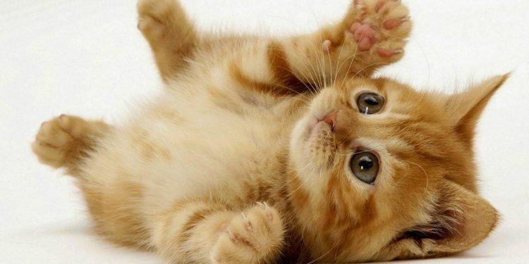 Perbedaan anak kucing persia dan kucing kampung
