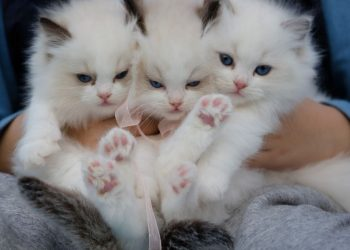 Ciri-ciri kucing Anggora